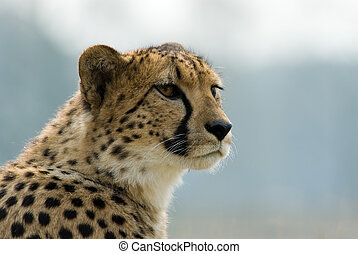 beautiful cheetah - close-up of a beautiful cheetah Acinonyx...