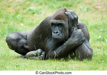 big female gorilla - close up of a big female gorilla