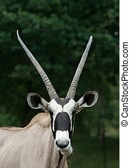 Gemsbok antelope - close-up pof a Gemsbok antelope (Oryx...