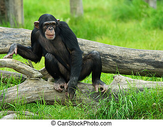 chimpanzee - close-up of a cute chimpanzee (Pan troglodytes)