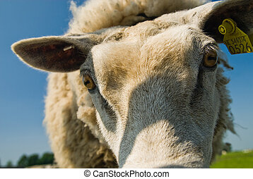 funny sheep - a funny sheep with its head in the Camera