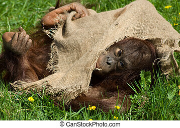 baby orangutan - cute baby orangutan playing on the grass