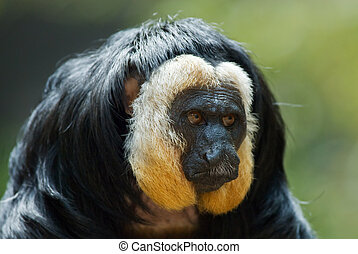 white-faced Saki - portrait of a white faced Saki (Pithecia...