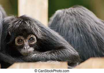 Spider monkey - Colombian Black Spider Monkey Ateles...
