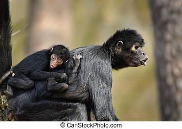 Spider monkey - Colombian Black Spider Monkey with baby on...