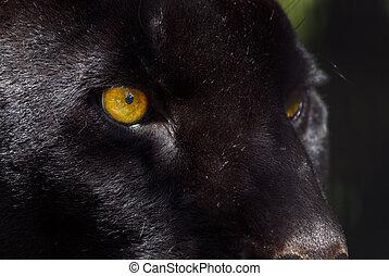 black panther - close-up of a beautiful black panther