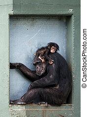 赤ん坊, チンパンジー