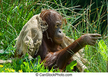cute baby orangutan playing on the grass and pointing at...