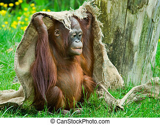 cute baby orangutan playing on the grass
