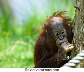 cute baby orangutan looking at the camera