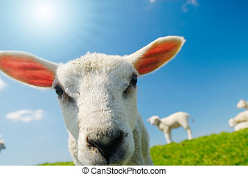 lamb in spring - funny picture of a curious lamb in spring