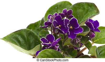 africano, violeta