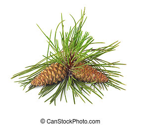 Branch of Christmas tree and pine cones on white isolated...