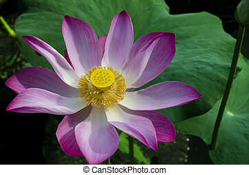 Tripped Pink Lotus in White Lake. Bau Trang (White lake) is...