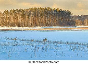 Roe deer graze in the snow
