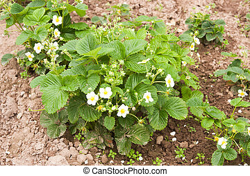 a flowering garden strawberry  grows on a bed