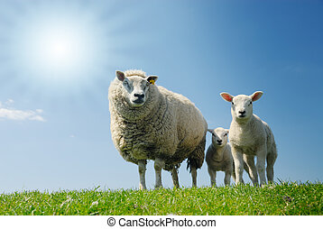 sheep family - curious lambs and mother sheep looking at the...