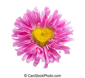 pink daisy with heart shape  - pink daisy with heart shape