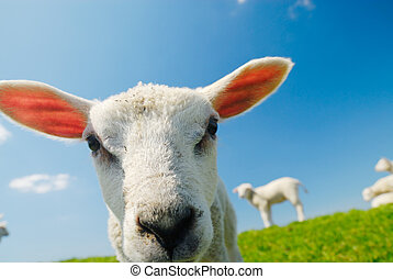curious lamb in spring - Funny picture of a curious lamb in...
