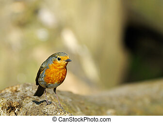cute robin redbreast - A cute robin redbreast on a tree...
