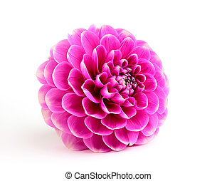 Purple dahlia close-up. - purple dahlia, isolated on white...