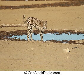 Interaction - Leopard and Jackal - A young leopard drinking...