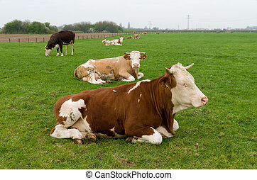 cows in meadow - brown and black cows in a dutch meadow