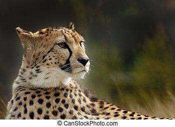 beautiful cheetah - close-up of a beautiful cheetah...