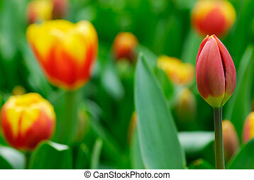 flowers in spring - beautiful garden of colorful tulips in...