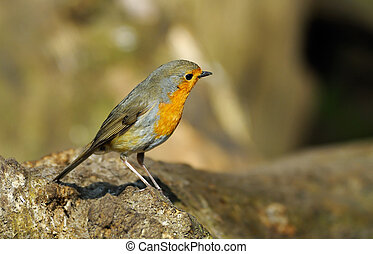 robin redbreast - A cute robin redbreast on a tree...