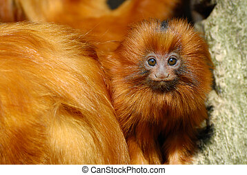 lion tamarin - A cute golden lion tamarin baby...