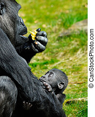baby gorilla  - a cute baby gorilla holding on to mother