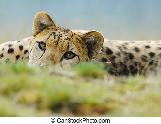 beautiful cheetah - close-up of a beautiful cheetah Acinonyx...