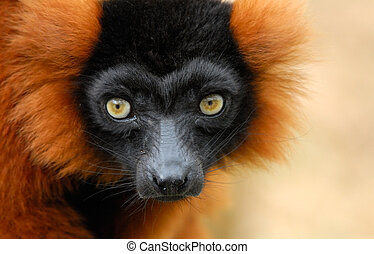 red ruffed lemur - a beautiful red ruffed lemur Varecia...