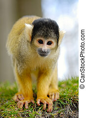 cute squirrel monkey (Saimiri) subfamily: saimiriinae