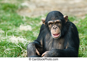 cute chimpanzee - close-up of a cute chimpanzee (Pan...