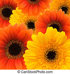summer background - colorful summer background of gerbera\'s...
