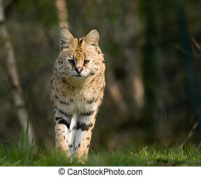 beautiful serval walking towards the camera (Leptailurus...