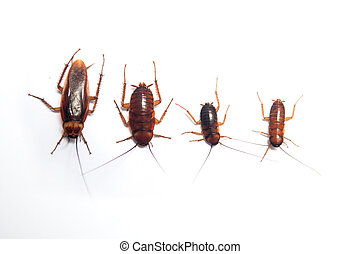 Cockroach on white background - Four age of cockroach on...