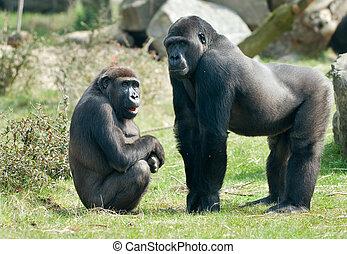 male gorilla - close-up of a big male and female gorilla