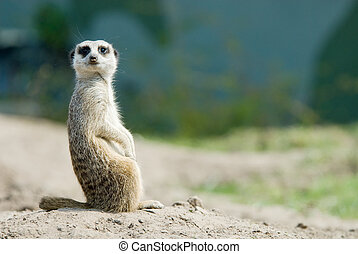 cute meerkat - a cute meerkat Suricata suricatta