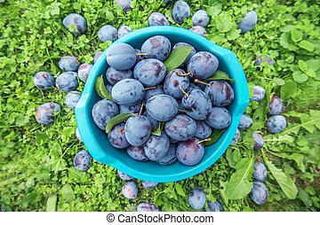 plums in bowl in garden