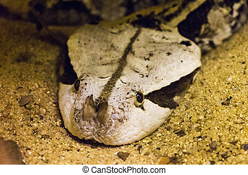 Gaboon Viper Head Shot - Close up of a Gaboon Vipers Head