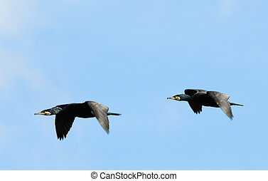 cormorants in flight - two beautiful great black cormorants...