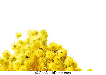 Mimosa - Branch of mimosa flowers isolated on white Large...