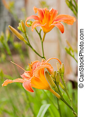 bright orange flowers  of lily