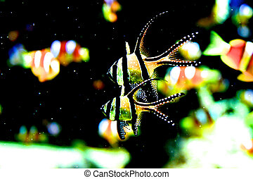 Scalar fish (Pterophyllum) lives in Orinoco and Amazon...
