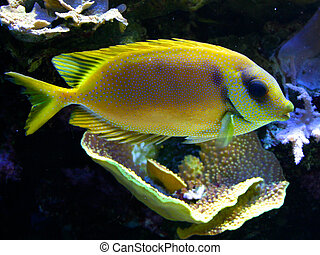 Yellow tropical fish in coral reef