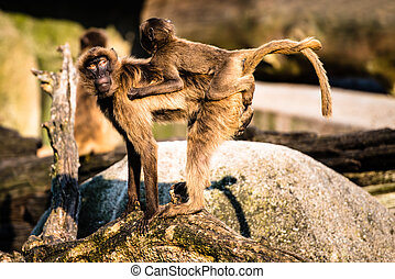mother and baby baboon - monkey mother carrying her baby...