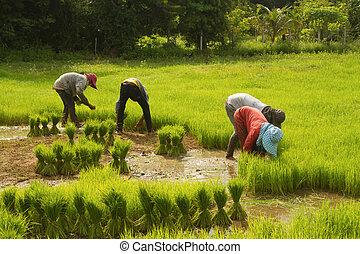 Thai farmer preparation rice seedlings for planting